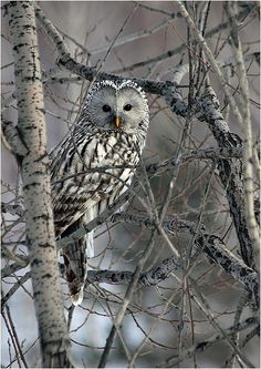 Ural Owl looking back. Beautiful Owl, Animals Beautiful, Animals And Pets, Cute Animals, Prey Animals, Owl Tree, Owl Photos, Birds Of Prey, Family Dogs