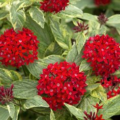 Shrubs and Perennials to Attract Butterflies Butterfly Plants, Butterfly Bush, Red Plants, Garden Plants, Flowers That Attract Hummingbirds, Organic Mulch, Flowering Shrubs, Red Shrubs, Sun Perennials