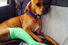 Repin and share! Tucker is a 2 year old Rhodesian Ridgeback mix. He was dog napped on 9/15/13. He was missing for 6 days. In those 6 days he was taken, tied out, broke free and was hit by a car twice. Yet he still fought his way home. He needs surgery to repair his leg so that it will not need to be amputated. He's missing all major tendons and necessary ankle bone fragments. Any help at all is greatly appreciated. His owner is a young (fur) mom and can't afford this surgery alone. Thank you