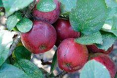Small trees: Credit: Alamy Malus domestica 'Spartan' Spartan eating apple If you want to sneak vitamin C into your chi...