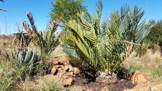 E.princeps  Vaal Retreat  Oct 2018 Cactus Plants, Cacti, Cactus