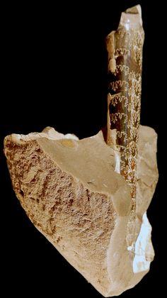 Baculites compressus, ROM 59304. Crétacé des USA. Ammonite, Seashells, Beautiful World, Evolution, Rocks, Passion, Usa, Wood, Conch Shells