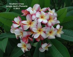 Southern Cross: One of our standard plumerias, it blooms very well and grows reliably.