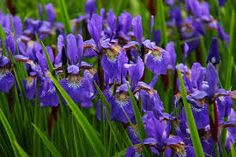 Native Plants You'll See Everywhere in Louisiana can find Louisiana and more on our website.Native Plants You'll See Everywhere in Louisiana Iris Flowers, Spring Flowers, Purple Flowers, Planting Flowers, Iris Violet, Purple Iris, Perennial Flowering Plants, Perennials, Louisiana Iris