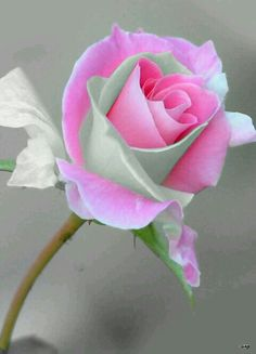 Quel rose magnifique