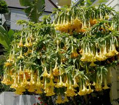 Angels Trumpet (Brugmansia) Charles Grimaldi Complete care instructions plants-and-their-care Exotic Plants, Tropical Plants, Plant Guide, Belleza Natural, Trees And Shrubs, Garden Spaces, Yellow Flowers, Organic Gardening, Container Gardening