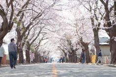 夜ノ森 桜のトンネル (A street of cherry tree, Yonomori, Tomioka, Fukushima, JAPAN)