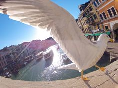 Just winging it. Photo by Federico Barbieri at Rialto's Bridge in Venice. Animal Close Up, Gopro Video, Rialto Bridge, Action Photography, Close Encounters, Little Puppies, Birds Eye View, Life Is Good, Surfing