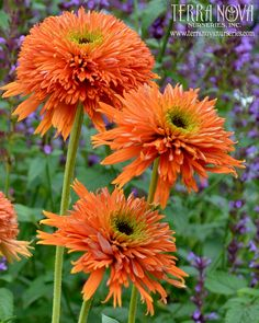 Echinacea 'Colorburst Orange' - 'Colorburst Orange' has it all - lovely double orange flowers and a medium short, well-branched habit. The anemone type double flowers open with centers that are dark, then lime green then orange. First year plants are multistemmed. Excellent vigor. Flowers are very large and stems are extra strong. A very exciting new Echinacea.
