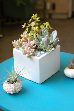 Succulent Arrangement by Dalla Vita. Small Cactus Plants, Colorful Succulents, Succulents In Containers, Cacti And Succulents, Planting Succulents, Planting Flowers, Air Plants, Succulent Gardening, Succulent Terrarium