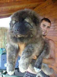 Top 7 Strangest Caucasian Mountain Dog Facts The Caucasian Mountain Dog is one of the largest dog breeds that you can ever find. There are more than 10 names that are used for referring to this dog breed such as the Bombora, CO, Caucasian, Cauca Chubby Puppies, Cute Puppies, Dogs And Puppies, Adorable Dogs, Cute Big Dogs, Puppies Gif, Big Fluffy Dogs, Fluffy Puppies, Animals And Pets