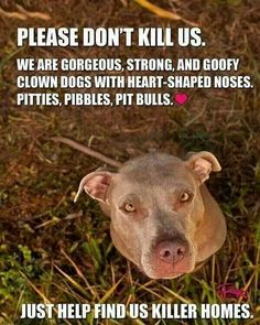 Pitbulls- so true! Ginger Snap is all of the above! I love my pitty girl! I Love Dogs, Puppy Love, Cute Dogs, Animals And Pets, Funny Animals, Cute Animals, Wild Animals, Pitbulls, Pit Bull Love