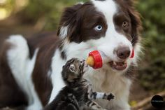 Border Collie and a cat