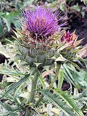 Rennet for cheese making  The good news is that there is a vegetable alternative.  Rennet can be made from Lady Bedstraw, Stinging Nettle, and Thistle flower.  Thistle cardoon is considered the best choice.  Harvest the drying thistle heads before they produce white fluff.  Do not use heads with fluff, they will not make rennet.