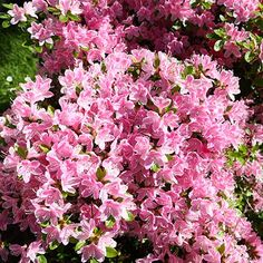 Large, vibrant blooms are the claim to fame of Conversation Piece Azalea. These stunning flowers can be up to four inches in diameter and will profusely cover this shrub when it is in bloom. Auras, Fast Growing Trees, Growing Plants, Patio Plants, Garden Plants, Plantar, Spring And Fall, Drought Tolerant, Hedges