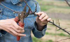 Afla aici cum se curata corect prin taiere pomii si arbustii fructiferi. Ghid complet te curatare a pomilor...
