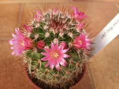 291 of Cactaceae family Cactus House Plants, Desert Plants, Cacti And Succulents, Herbs, Gardening, Amor, Farmhouse, Blue Prints, Lawn And Garden