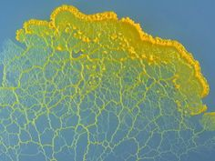 This is what singing slime mold sounds like - CNET Organic Structure, Natural Structures, Natural Forms, Mushroom Tattoos, Microscopic Photography, Slime Mould, Bio Art, Patterns In Nature, Sounds Like