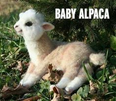 1000+ images about Cute animals on Pinterest | Baby alpaca ...