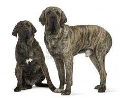 6c4378bb3eb Fila Brasileiro Mooie Honden, Grote Hondenrassen, Dieren Spellen, Honden  Portretten, Grote Honden