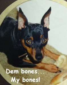 """""""Dem bones... My bones!"""" Boss was not a sharer! ~ Miniature Pinscher"""