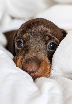 Dapple Dachshund, Dachshund Puppies, Dachshund Love, Baby Puppies, Baby Dogs, Cute Puppies, Cute Dogs, Dogs And Puppies, Wiener Dogs