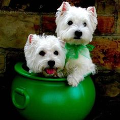 "Wilson and Ian Wood say ""Happy St. Patrick's Day!"" ❤️ #Westie #Dog"
