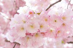Výsledok vyhľadávania obrázkov pre dopyt sakura japonska ceresna
