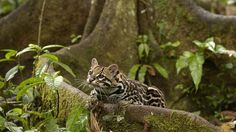 Majestic Ocelots That Will Mesmerize You With Their Beauty - Shared