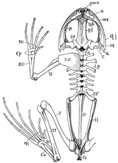 Bony Fish Skeletal Anatomy Details