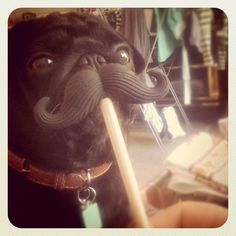 Mustached pug
