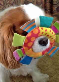 Penny the Cavalier King Charles Spaniel  -love this Stanley does this too, but with a much bigger ring ~