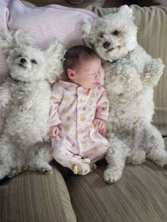 every baby needs 2 bichons!