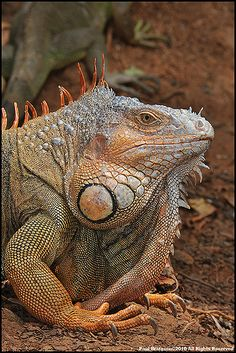 Giant Iguana | GiantIguanaDSC_4973 | Paul Bratescu | Flickr