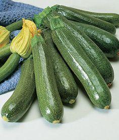 Squash, Summer, Fordhook Zucchini.HEIRLOOM. All-America Selections winner for vigorous bush-like plants.