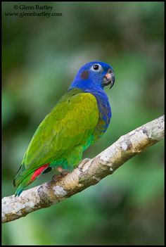 The Blue-headed Parrot, also known as the Blue-headed Pionus (Pionus menstruus) is a medium large parrot. It is about 27 cm long and they are mainly green with a blue head and neck, and red under tail feathers.[2] It is a resident bird in tropical and subtropical South America and southern Central America, from Costa Rica, Venezuela and Trinidad south to Bolivia and Brazil.