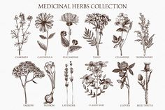 Medicinal herbs sketch set by ievgeniia on Creative Market