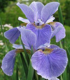 Iris sibirica 'China Spring' (Bauer & Coble, 1999)