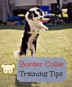 Useful Tips on Border Collie Training