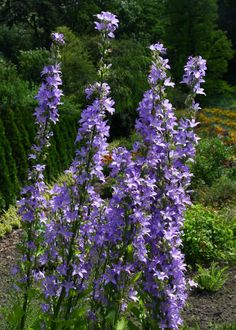 Chimney Bellflower This variety of campanula can grow up to over tall. it features bell-shaped purple blooms that grow in a chimney-shaped stalk. It blooms over a long period — mid-summer through fall and tolerates a wide variety of conditions. Tall Perennial Flowers, Long Blooming Perennials, Best Perennials, Tall Flowers, Hardy Perennials, Flowers Perennials, Rose Flowers, Flower Pictures, Hgtv