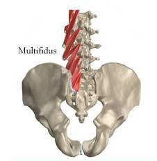 """The multifidus muscle is one of the smallest yet most """"powerful"""" muscle that gives support to the spine. Most people have the misconception that small is insignificant but it is not the case when it comes to this particular muscle. Low Back Exercises, Stretching Exercises, Psoas Release, Tight Hip Flexors, Core Stability, Psoas Muscle, Muscle Anatomy, Low Back Pain, Hip Pain"""