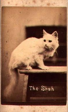 """""""The Shah"""", a photograph of a white Persian cat, a carte from 'The Brighton Cats' series, photographed by Harry Pointer at his Bloomsbury Place studio in Brighton."""