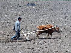 Ploegen North Korea, Animals, Animales, Animaux, Animal, Animais