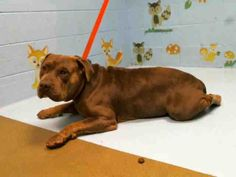 American Pit Bull Terrier dog for Adoption in Moreno Valley, CA. ADN-598598 on PuppyFinder.com Gender: Male. Age: Senior