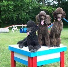 Agility Poodles at the dog park have you and your fur friend used the dog…