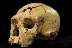 Skulls found in a spanish cave, Sima de los Huesos. The skulls show Neanderthal-like traits as well as characteristics associated with an earlier, primitive human (Source: Javier Trueba/Madrid Scientific Films)