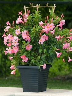 "Sun Parasol Pretty Pink Mandevilla(Mandevilla 'Sunparaprero') - well branched vine, bushy mass of glossy green foliage, prolific bloomer from late spring until frost, large 2"" pink flowers, annual in most areas, 10' tall, full sun to part shade"