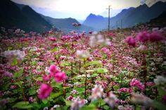Tháng 11 lên Hà Giang ngắm hoa tam giác mạch