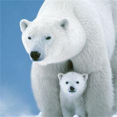 polar bear cuteness...