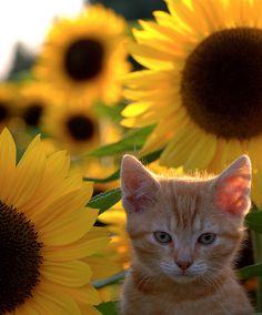 Orange cat and sunflowers Kittens Cutest, Cats And Kittens, Cute Cats, Crazy Cat Lady, Crazy Cats, Baby Animals, Cute Animals, Gato Gif, Orange Tabby Cats